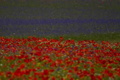 3-Flowers-Castelluccio tn
